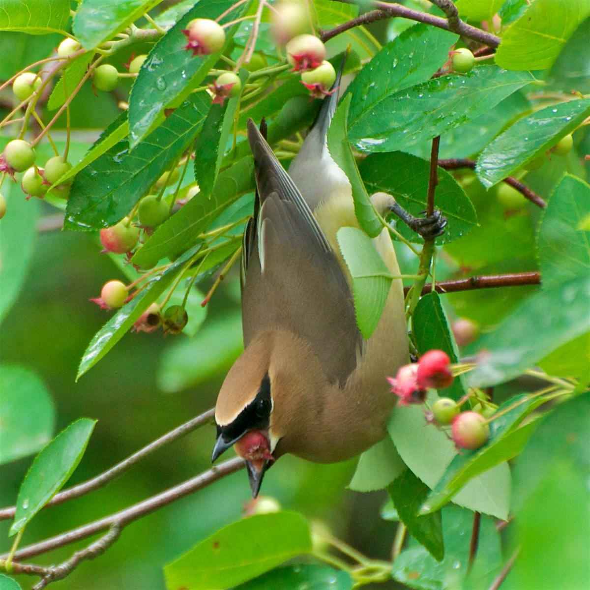 Cedar Waxwing eating Amelanchier berries.