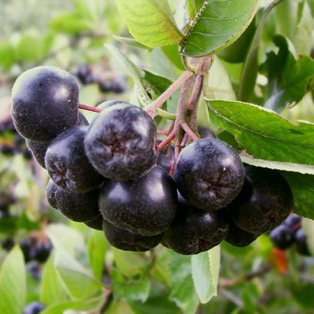 Aronia melanocarpa berries. Photo by Pawvic / CC BY-SA