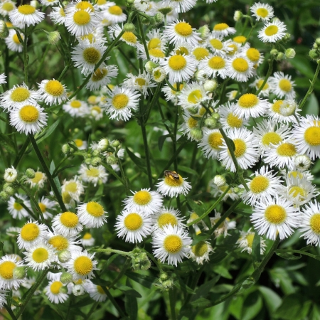 Annual fleabane (Erigeron annuus) is abundant in and around this site, and will seed in naturally.