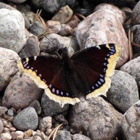 Mourning cloak butterfly (Nymphalis antiopa). Photo by Petri Tapola / CC BY-SA.