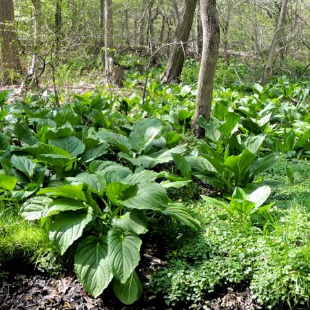 Skunk cabbage (Symplocarpus foetidus) patch in mid-April. Photo by Meredith Gallogly.