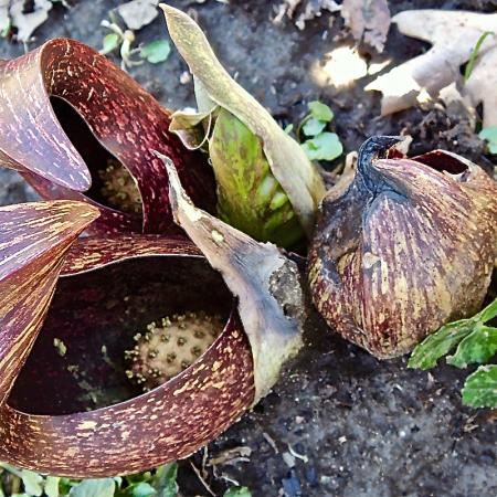 Skunk cabbage (Symplocarpus foetidus) spathe and spadix. Photo by Meredith Gallogly.