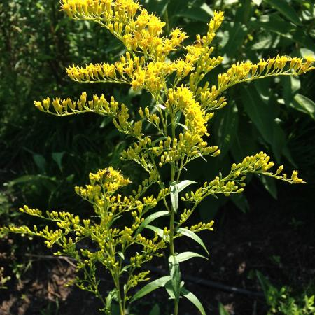 Sweet goldenrod (Solidago odora). Photo by Meredith Gallogly.