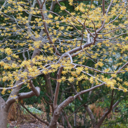 Witch hazel planted in a garden context and blooming in November.
