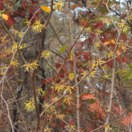 Witch hazel blooming in the forest understory.
