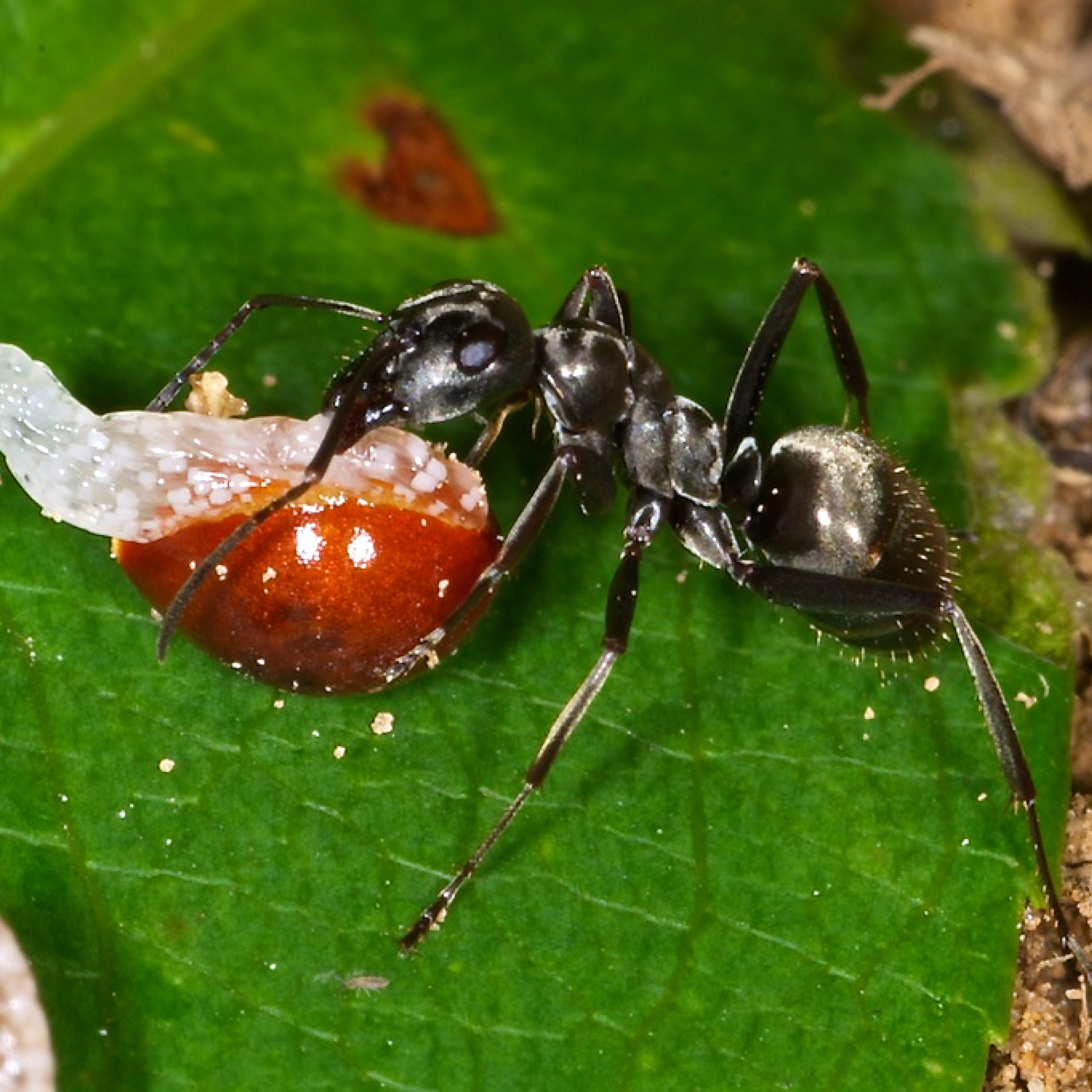 Ant carrying a bloodroot seed.