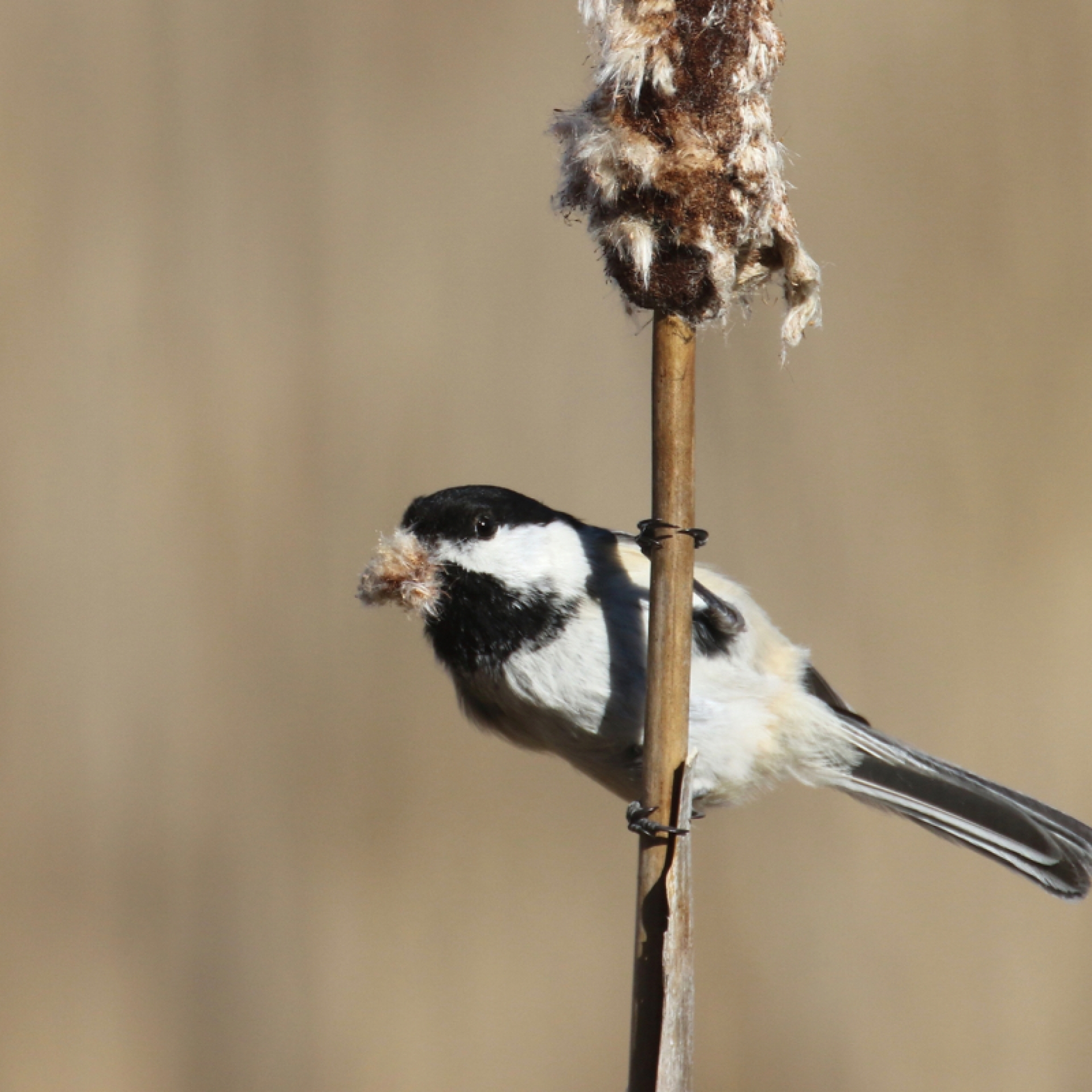Black-capped chickadee on catttail.