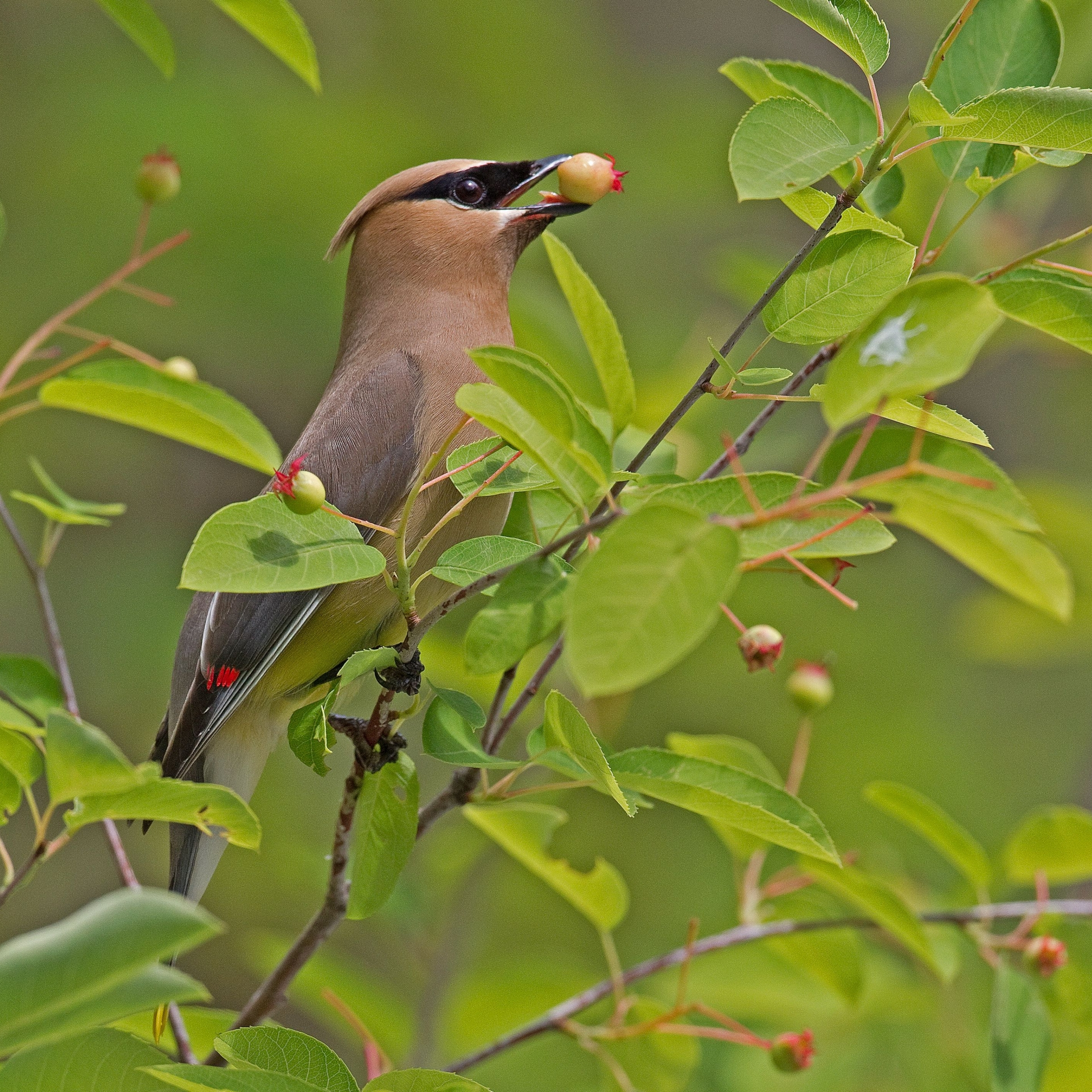 Cedar Waxwing eathing an Amelanchier berry.