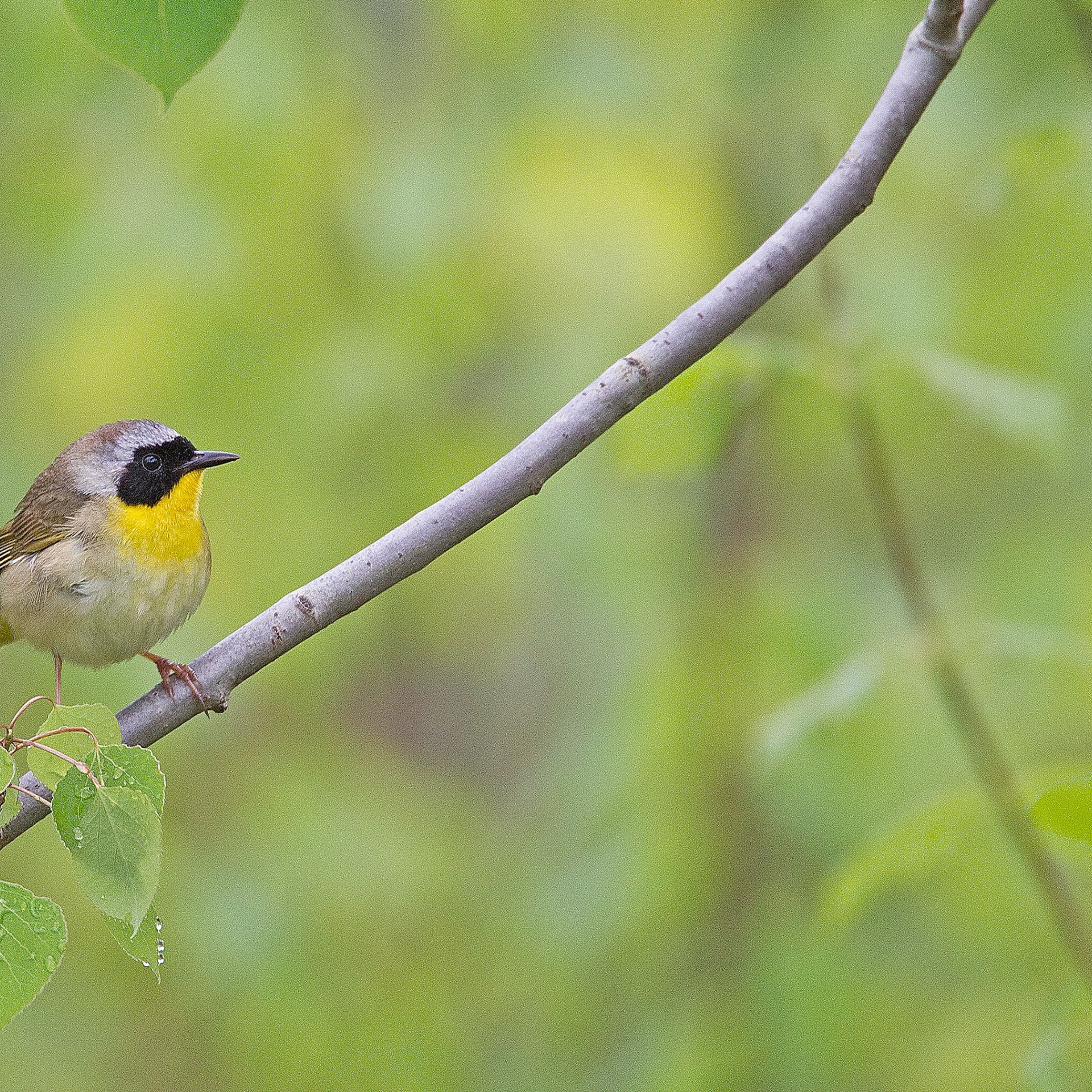 Common yellowthroat warbler in Quaking aspen.