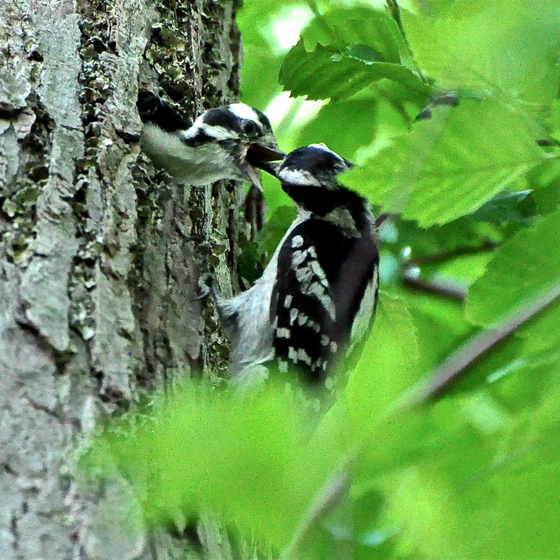 Downy woodpecker feeding her young.