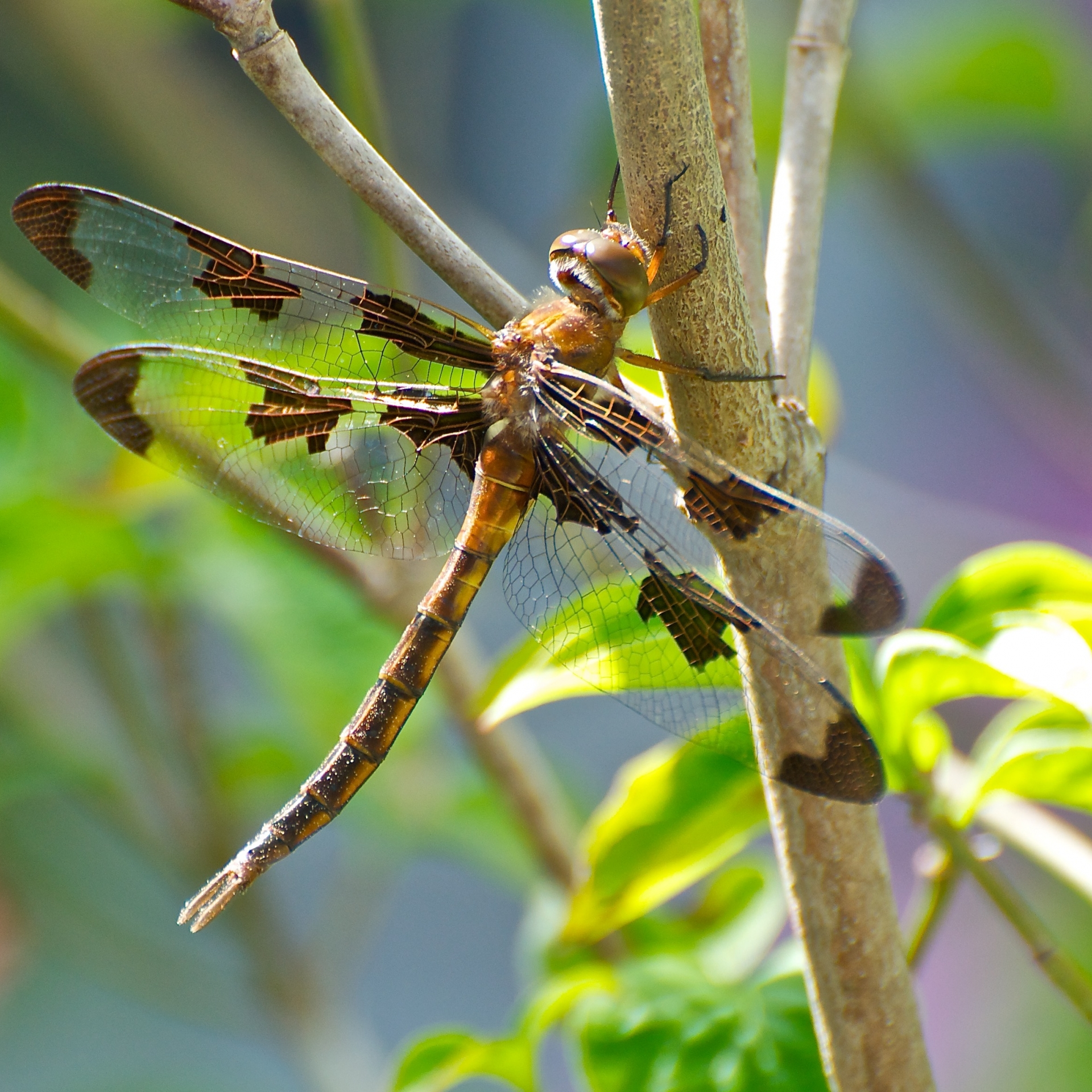 Dragonfly perched on a native dogwood tree.
