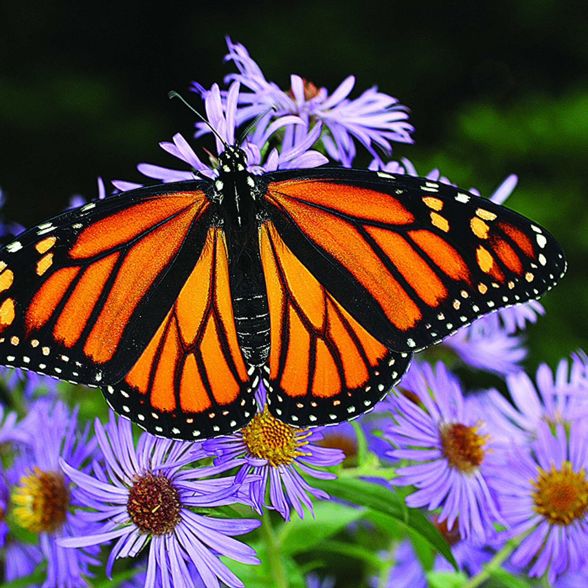 Monarch butterfly at New England aster.