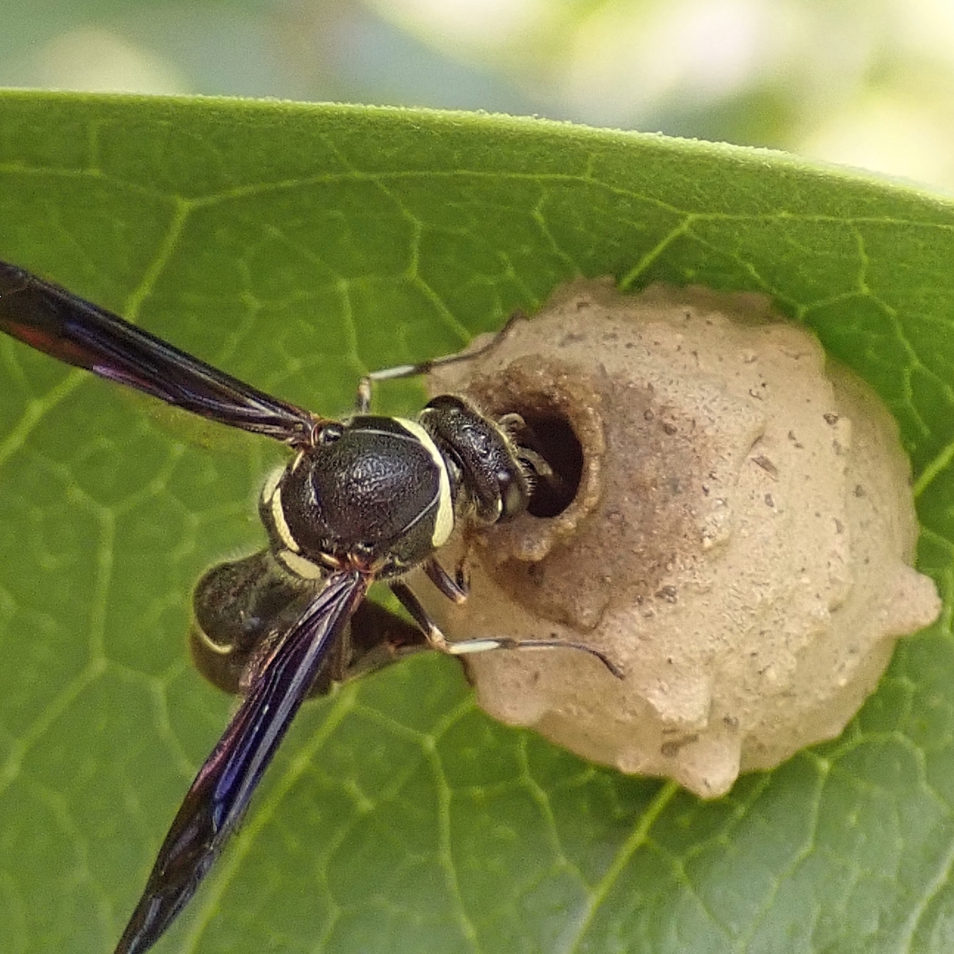 Potter Wasp on Common Milkweed