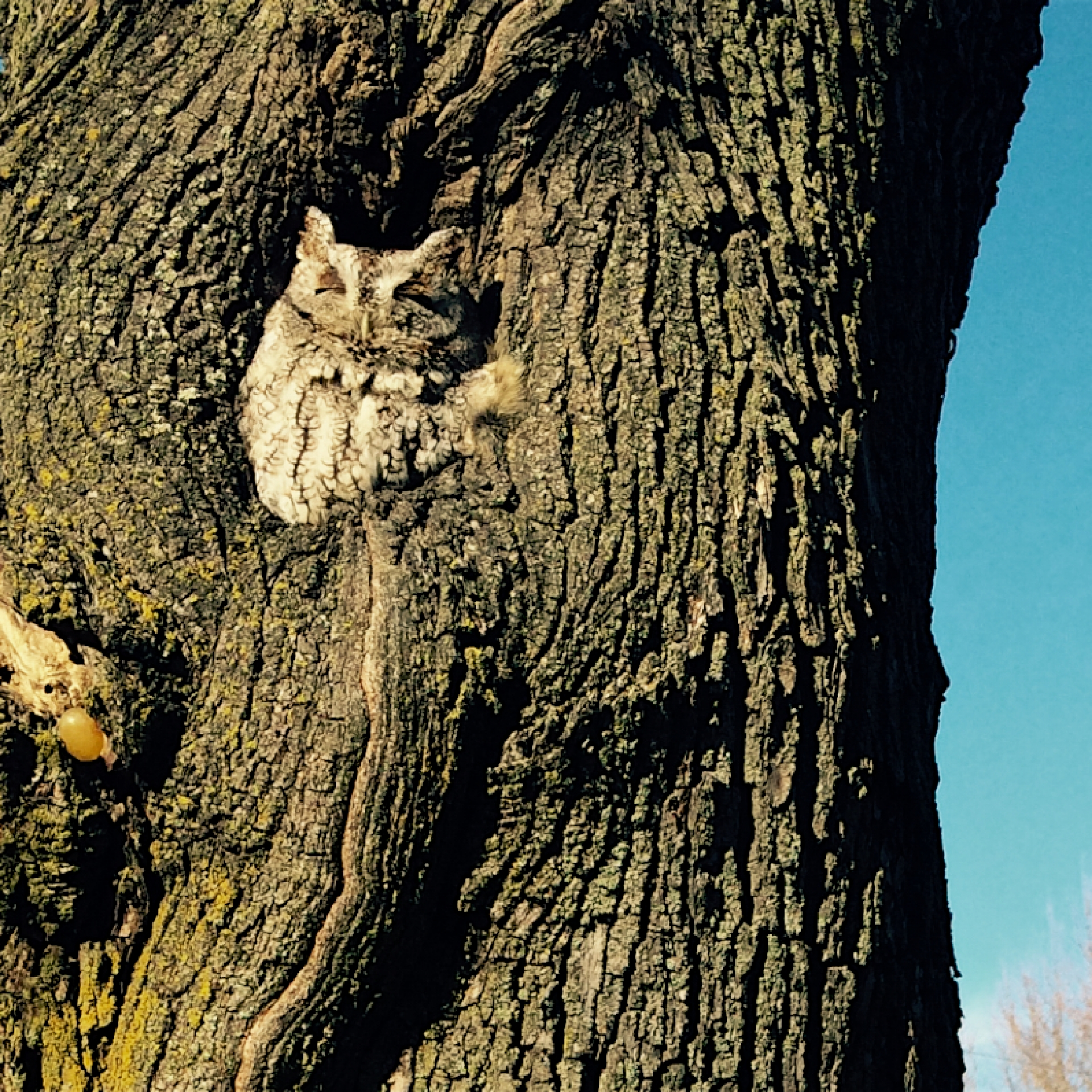 Screech Owl nesting in an urban street tree.