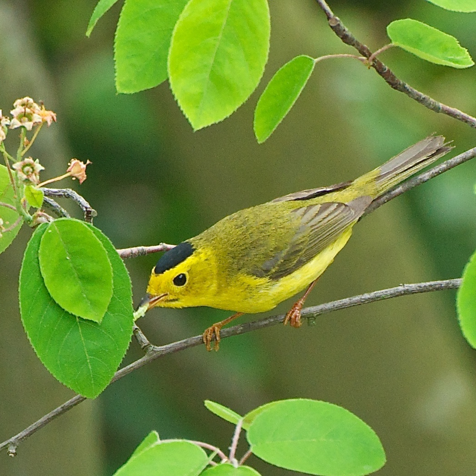 Wilson's Warbler eating a caterpillar.