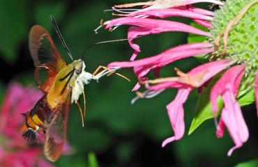 Hummingbird clearwing (Hemaris thysbe). Photo by George McLean.