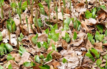 Wild ginger and Uvularia emerging through the leaf litter.
