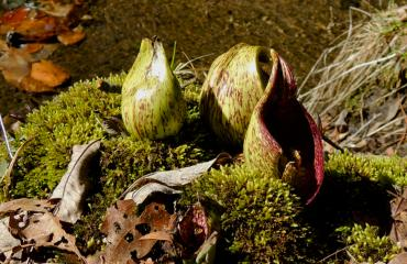 Skunk cabbage (Symplocarpus foetidus) flowers in March. Photo by Meredith Gallogly.