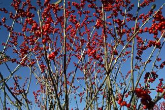 Millican Nursery image—winterberry.