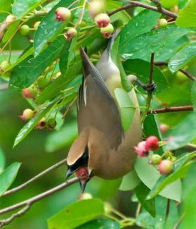 Cedar waxwing eating Amelanchier berries