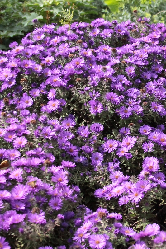 New Engalnd aster 'Purple Dome.'