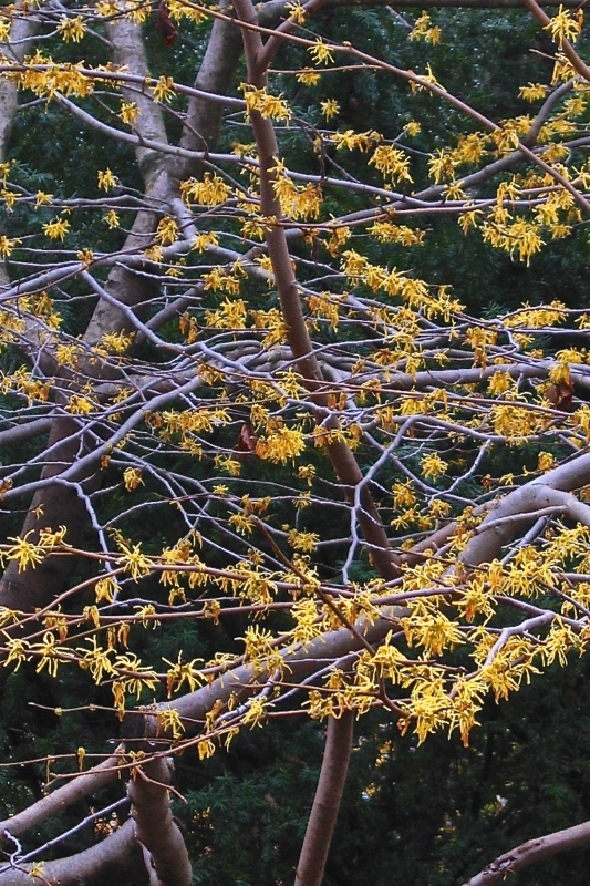 Native witch hazel in bloom.